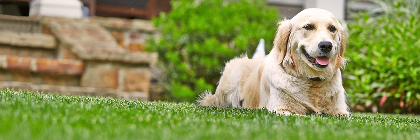Relaxing the day away on the grass showing a golden retriever