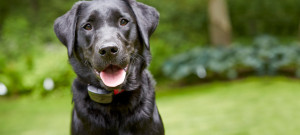 What an R9 receiver looks like on a black lab