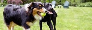 Playing ball having a good time for a black lab and border collie