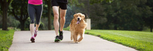 Golden Retriever happily jogging with owners