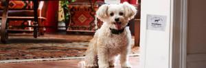 Maltese dog wearing the R7mini receiver behind his indoor hidden dog fence flag