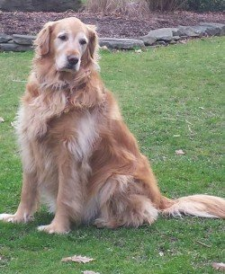Beautiful Maggie the Golden Retriever from Lauren