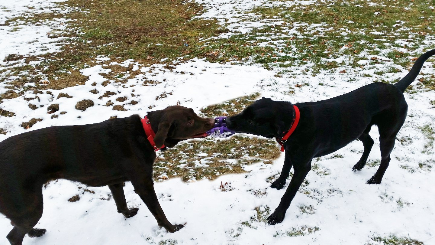 2 dogs with tug toy playing