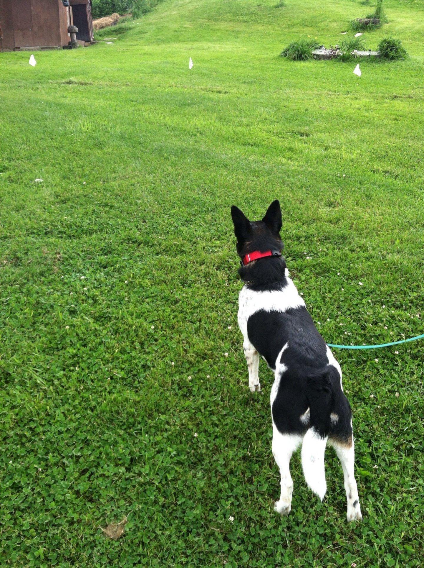 Blue heeler dog looking at flags