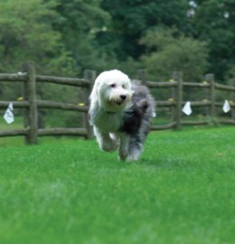 Sheepy dog running along fenceline photo