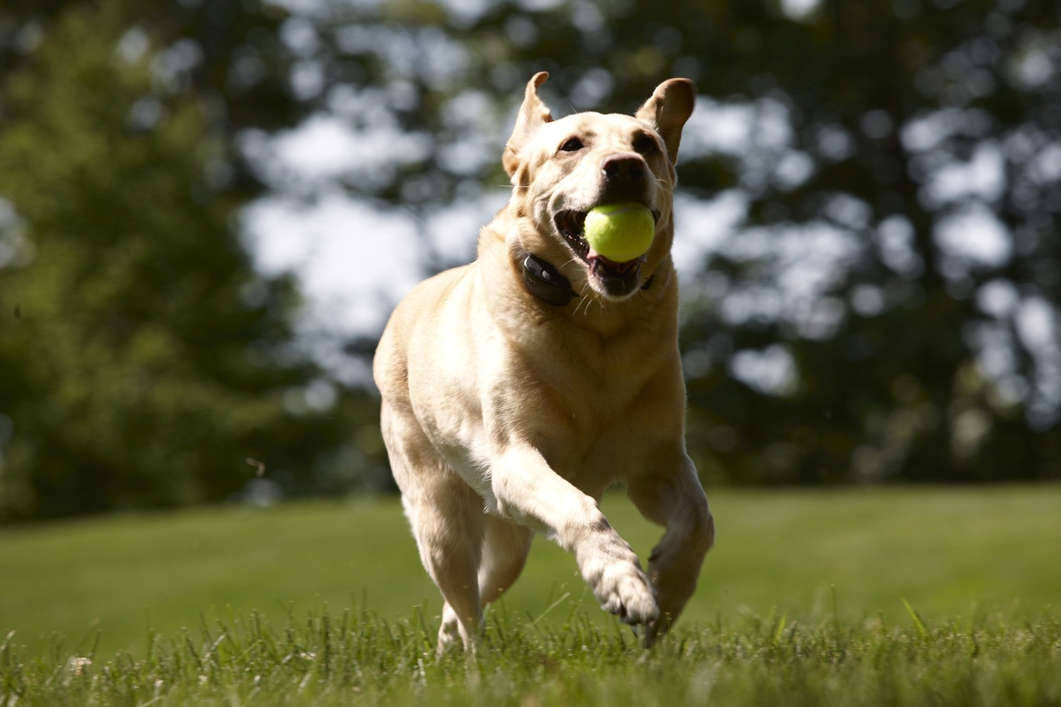 dog with ball in mouth running