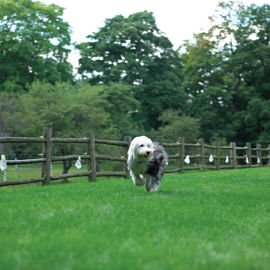 Sheep dog running against flags
