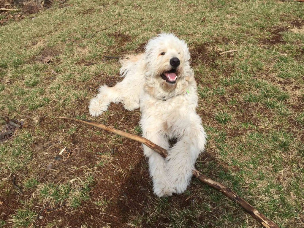 doodle dog with stick
