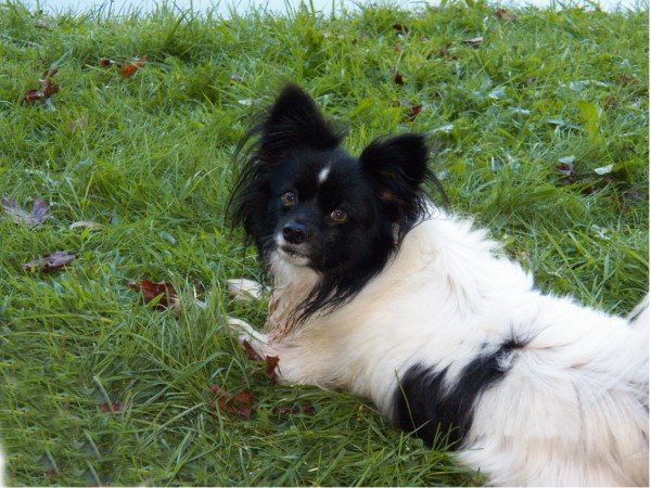 Papillon dog relaxing in the grass