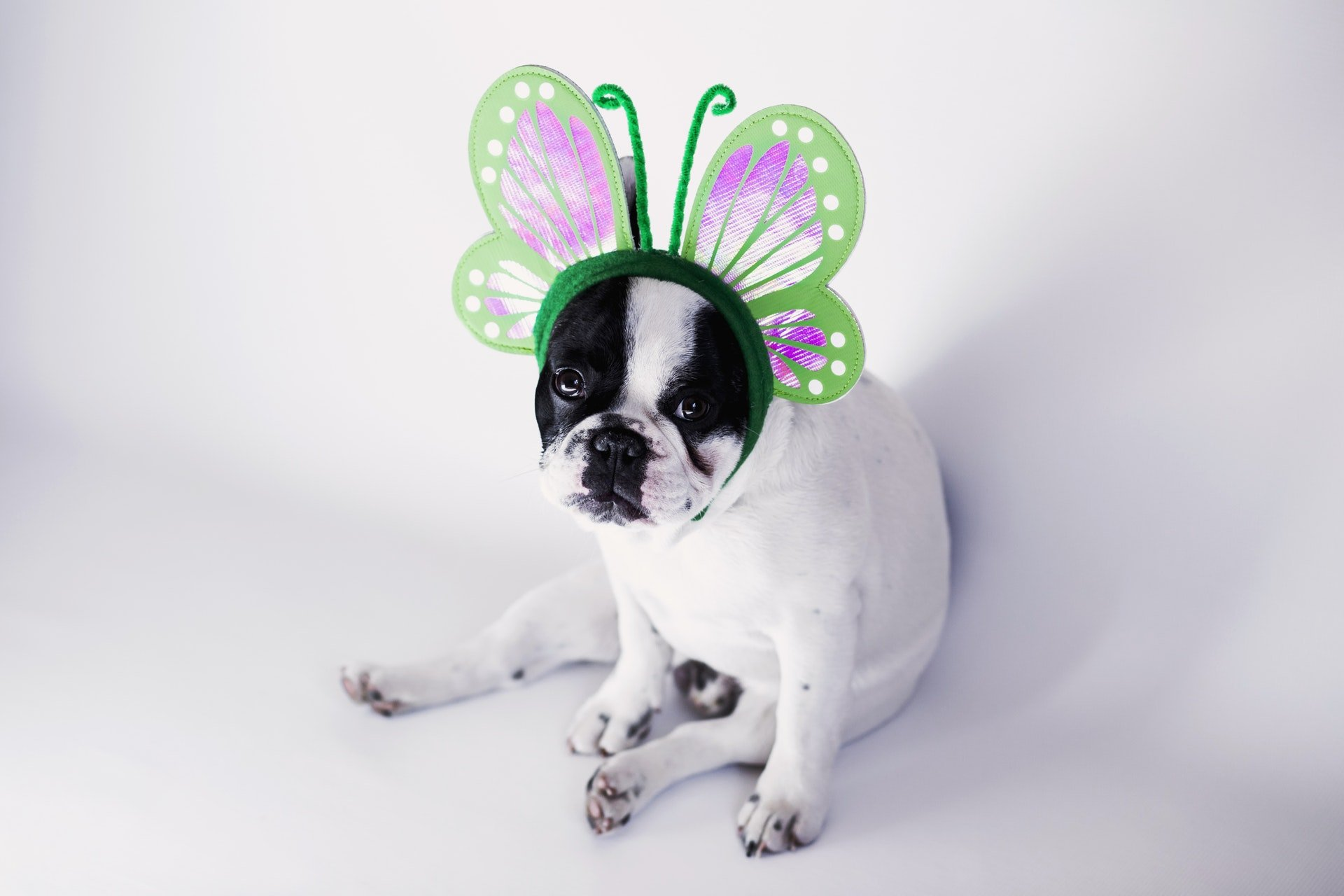 dog with butterfly headpiece decoration on