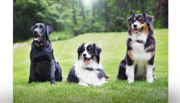Three dog portrait pic