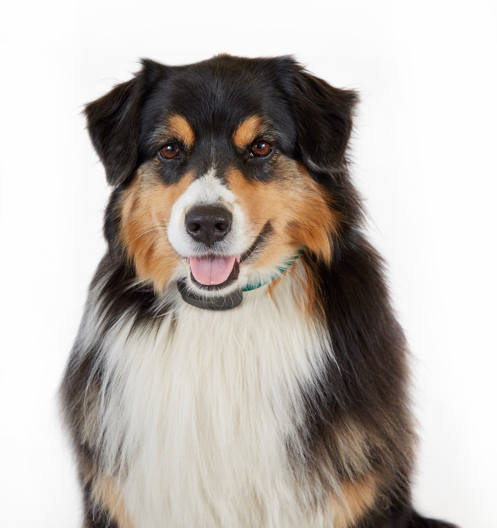 Close up of border collie with receiver on