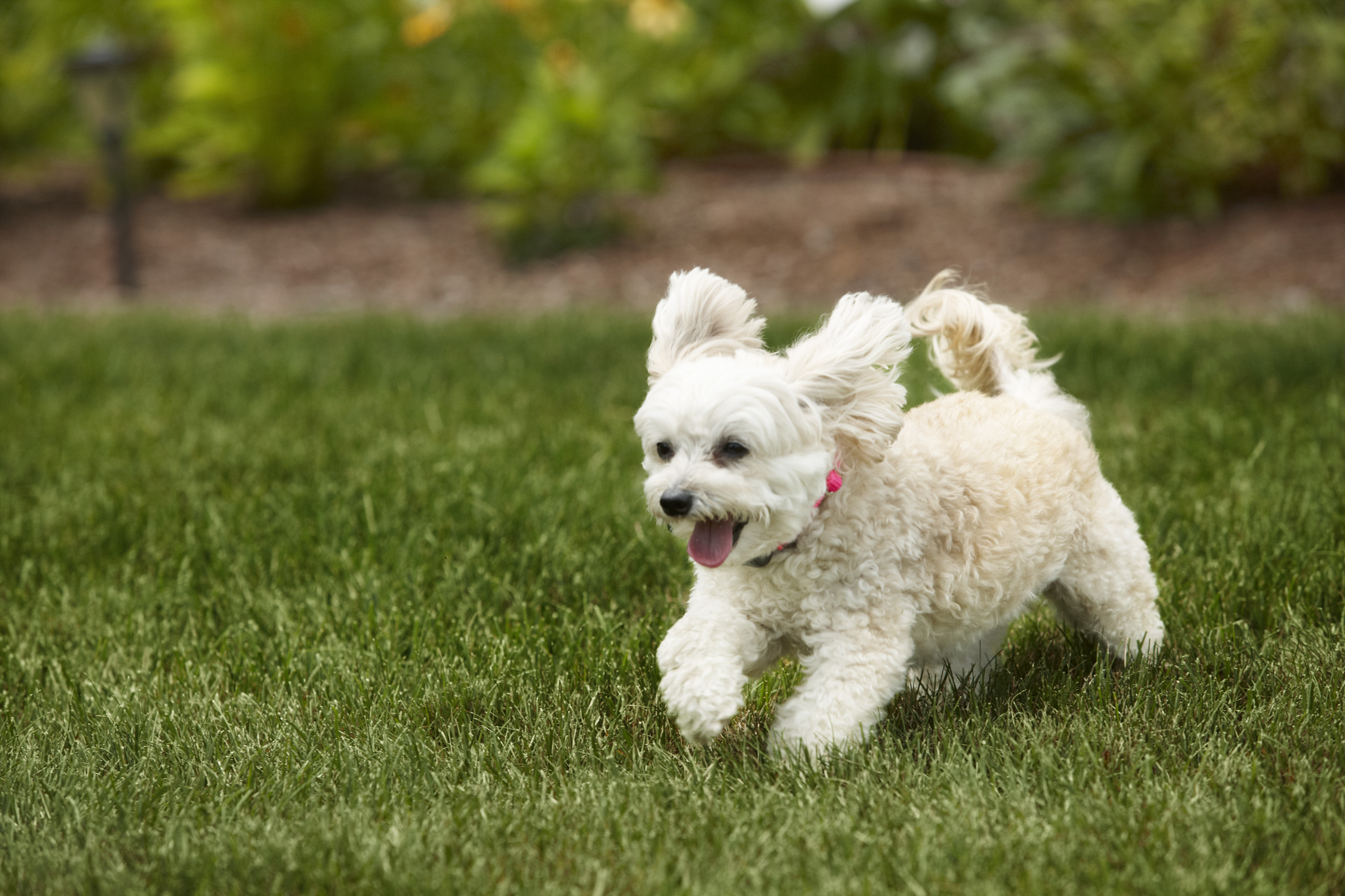 little white dog running tongue hanging out