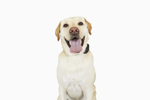 Lab with tongue hanging out