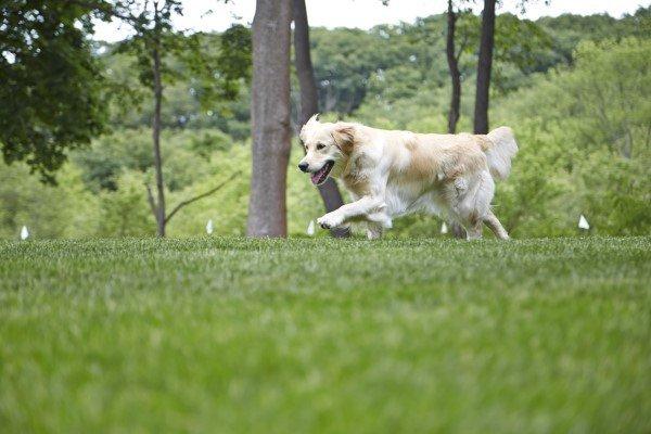 Golden running in grass flags in background