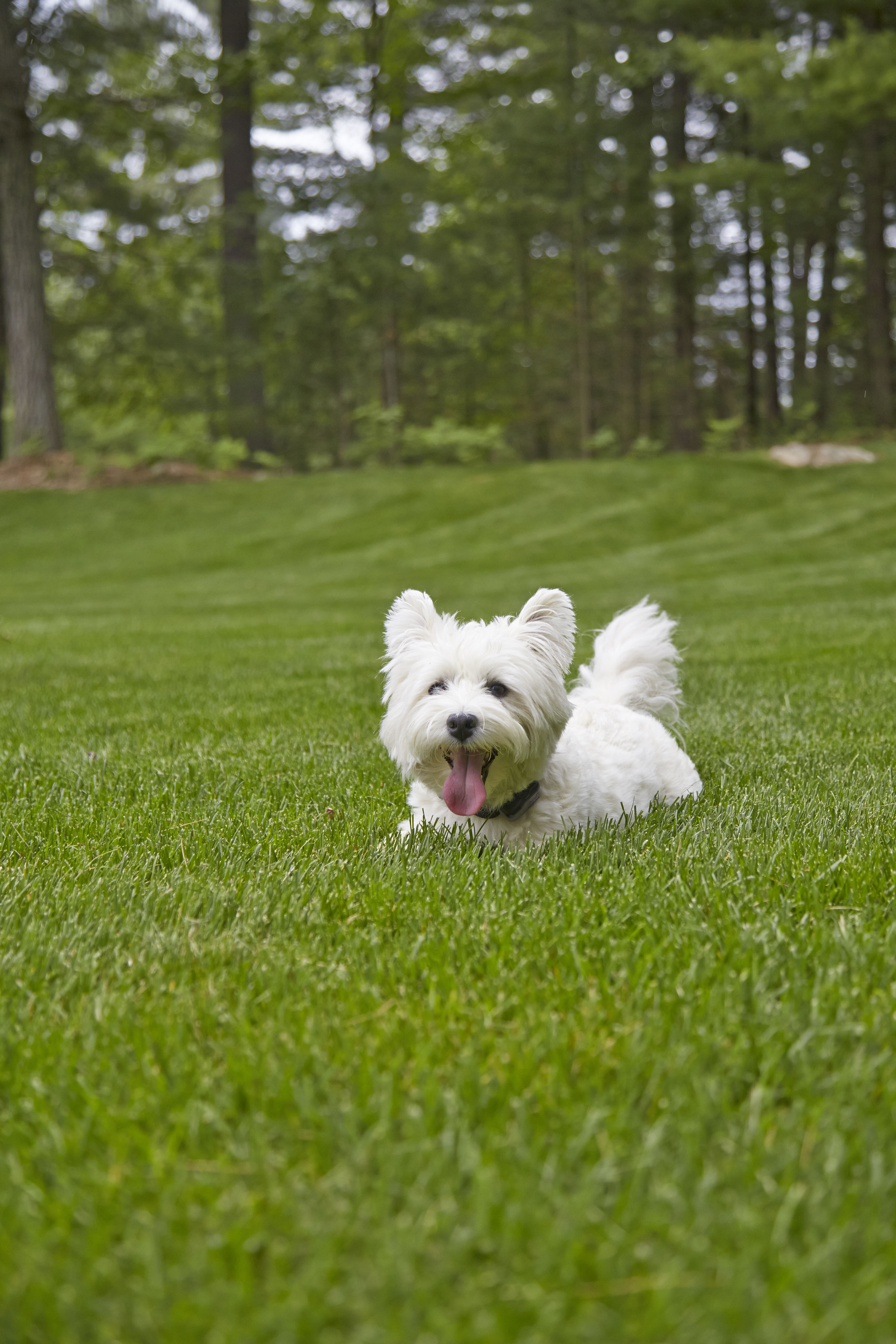 white dog on grass with tongue out
