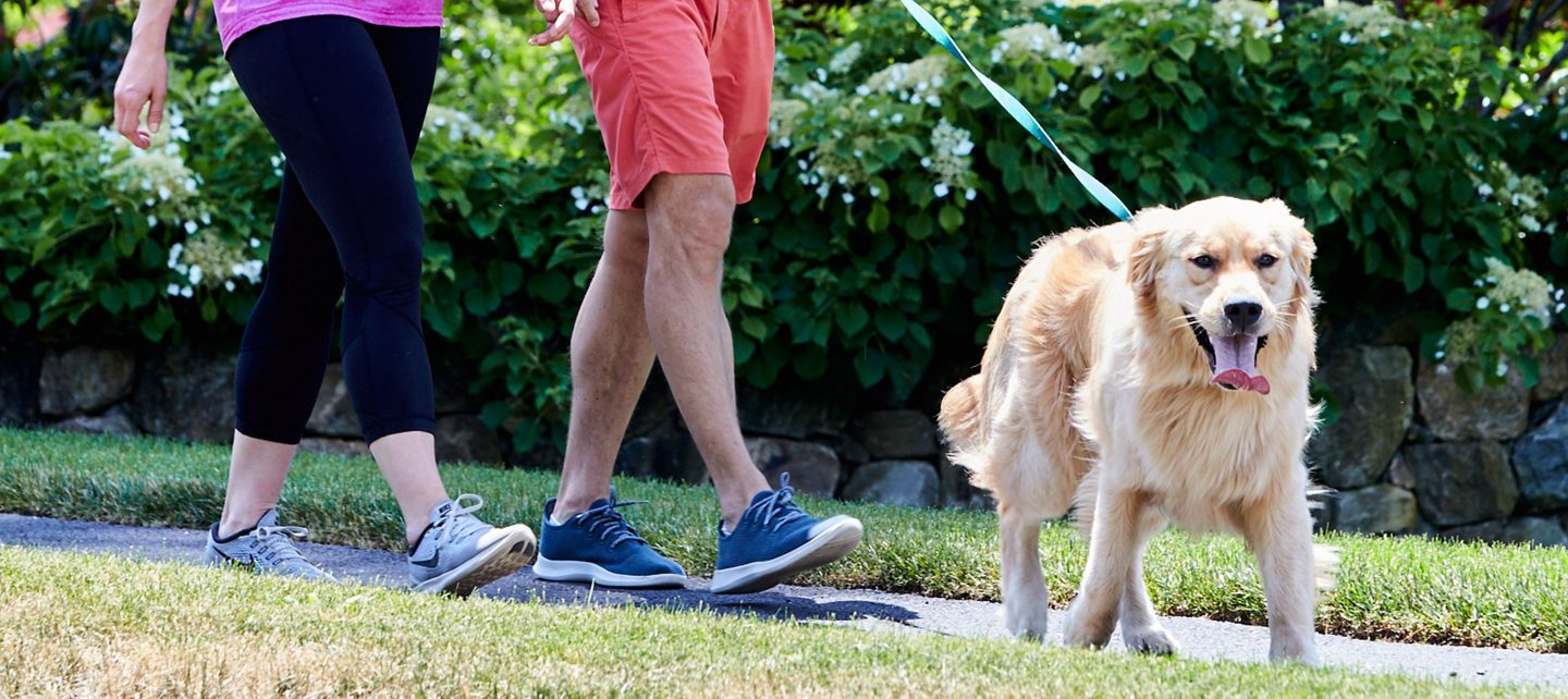 Golden walking with owners